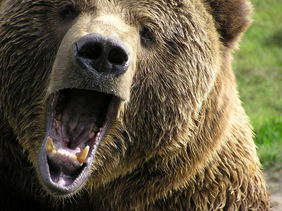she bear