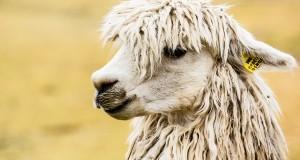 grooming a llama